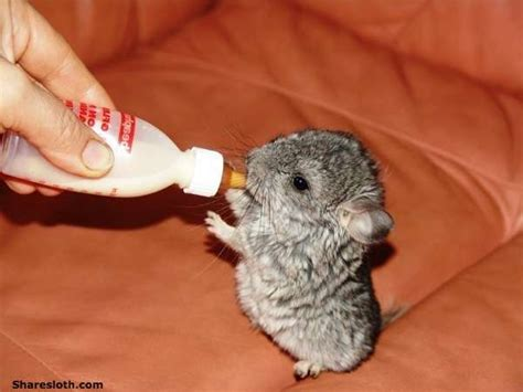 baby chinchilla pictures sharesloth