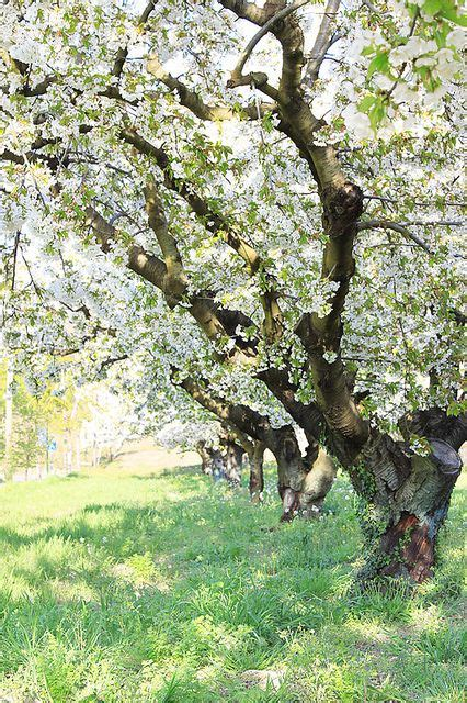 zuckerman s swing Ꮥprinɠ lente blossoms window and