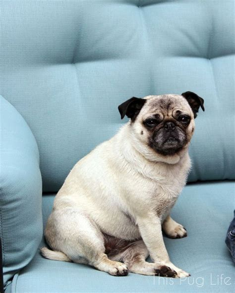 How Much Do Pugs Shed by 128 Best Images About Pug On