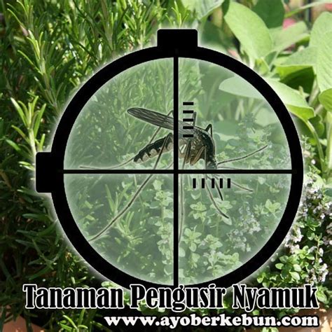 Jual Bibit Tanaman Pengusir Nyamuk tanaman hias pengusir nyamuk tanamanbaru