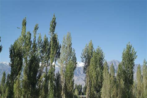 lombardy poplar trees growing tips warnings