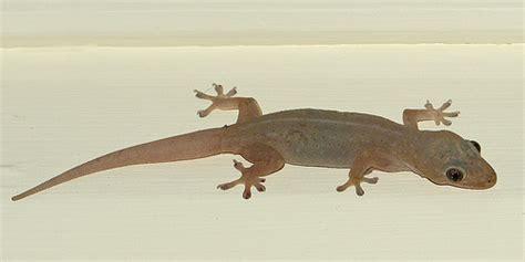 house lizard herpetophobia kyra elaine g co