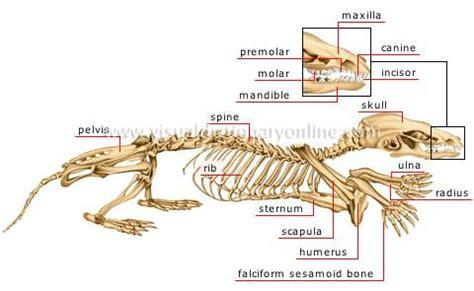 opossum anatomy diagram opossum skeleton diagram