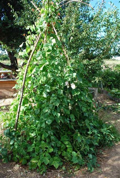 Gardening Green Beans Growing Green Beans Planting Green Beans