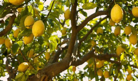 alberi da frutta in vaso 5 alberi da frutta facili da coltivare vallelata