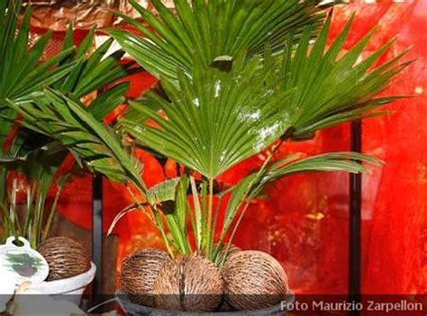 pianta di cocco da appartamento cocos cocco pianta da appartamento della famiglia delle