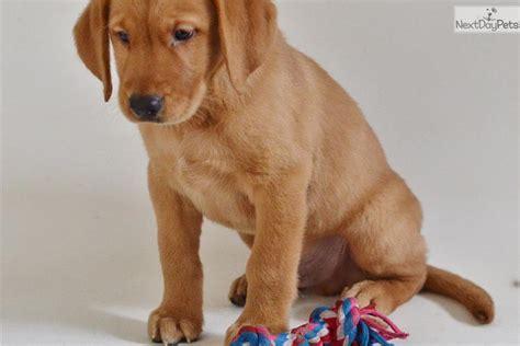 goldador puppies goldador puppies for sale from reputable breeders autos post