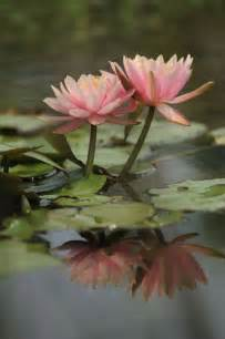 Lotus Flower Fertility I Water Lilies Even Though I Don T Where I Can