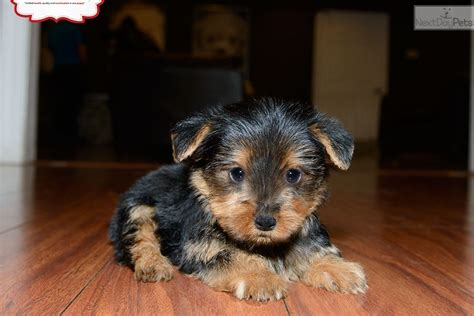 yorkies for sale in washington terrier puppy for sale quilcene wa breeds picture
