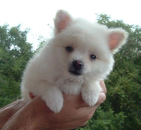white teddy pomeranian puppies for sale white teacup pomeranian puppies for sale uk picture breeds picture