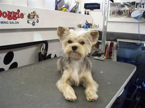yorkie puppy cut before and after club doggie mobile grooming salon before and after photo gallery