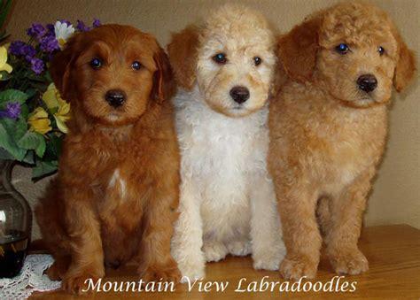 labradoodle puppies oregon labradoodle puppies central oregon mountain view labradoodles