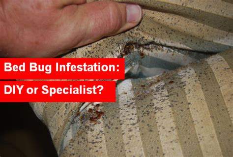 diy get rid of bed bugs bed bug infestation diy or specialist
