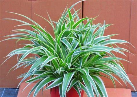 Tanaman Hias Keladi Hitam tanaman hias 24 contoh tanaman hias daun paling populer