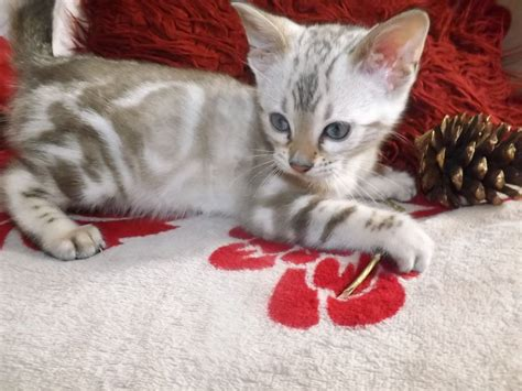 blue eyed snow bengal kitten 3 months old youtube beautiful blue eyed snow bengal kittens ready now