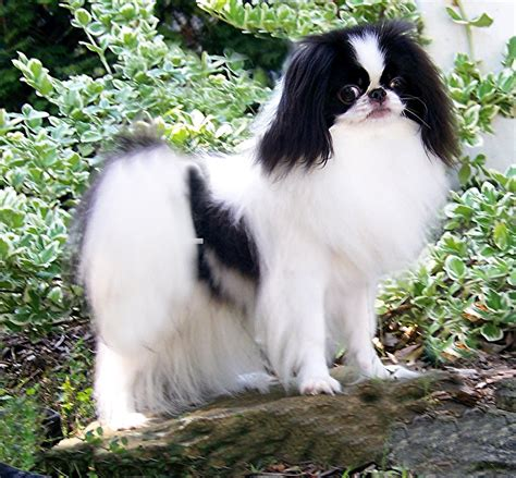 japanese dogs japanese chin