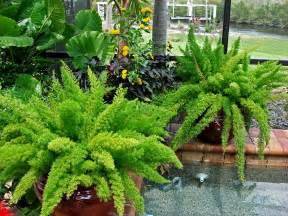 Window Box Flowers Full Sun - foxtail ferns the perfect shade container plant springer ryi in all it s forms is a great