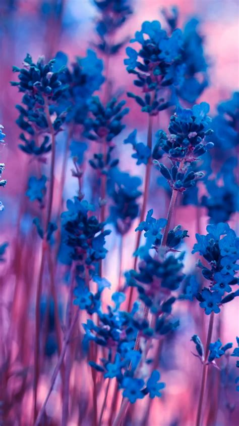 Hp Sony Xperia Lavender violet lavender flowers wallpaper wallpapersbyte