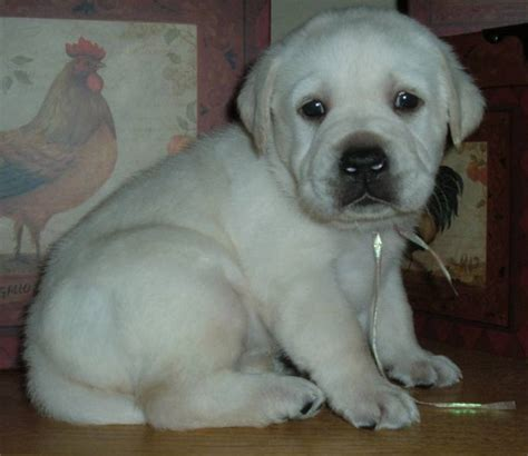 puppies for sale in san fernando valley labrador puppies for sale san fernando valley photos breeds picture