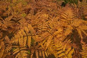 slideshow 1267 06 fall colors bracken ferns pteridium aquilinum miles west st