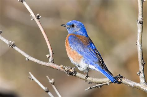 Blue Biru western bluebird audubon field guide