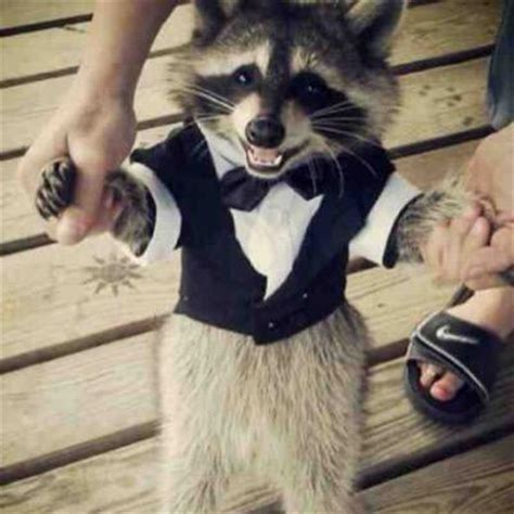 Baby In Tuxedo Meme - trash panda realtrashpandas twitter