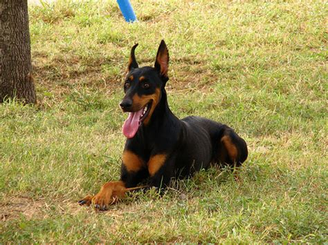 doberman puppies cost how much does a doberman pinscher cost howmuchisit org