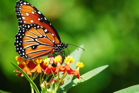butterflies images 20 colourful butterflies hd wallpapers wonderwordz