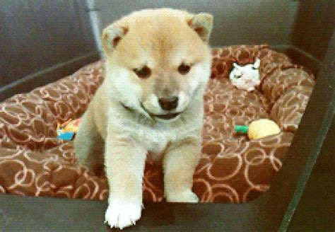 puppy cams stop what you re doing and this livestream of shiba puppies