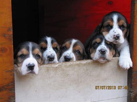 basset hound puppies for sale in basset hound puppies for sale johannesburg puppies for sale