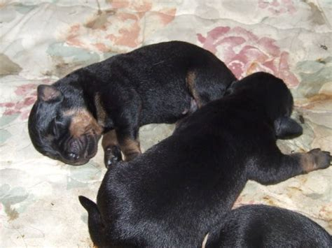 rottweiler for sale melbourne rottweiler pups for sale adoption from west melbourne metro adpost