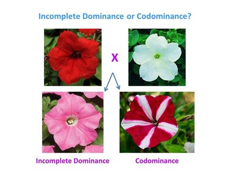 exle of codominance explained with exles