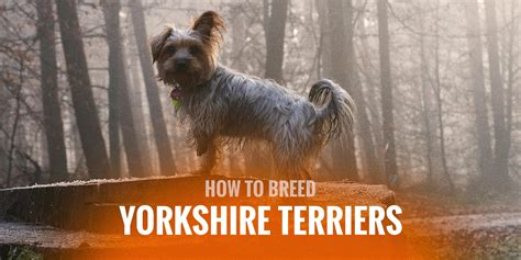 how to breed a yorkie how to breed terriers mating pregnancy in yorkie