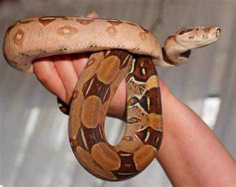7 Techniques On Caring For A Python by Snakes As Pets Basic Requirements And Care Tips