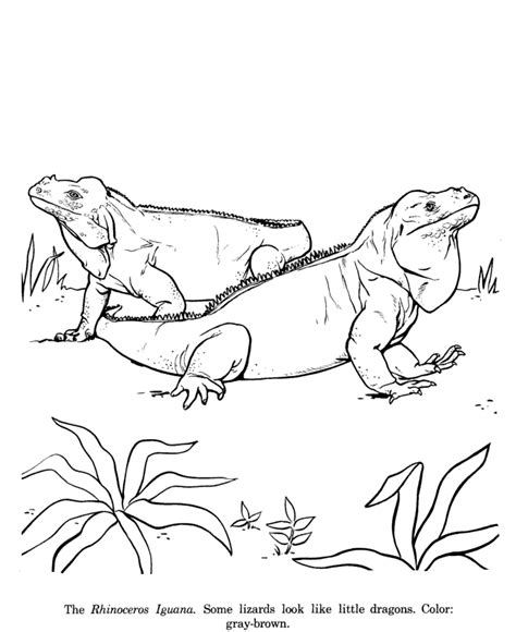 printable coloring page iguana iguana coloring page coloring home