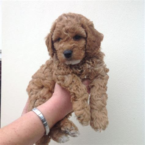 puppies on class miniature sproodle puppies pra clear leigh on sea essex pets4homes