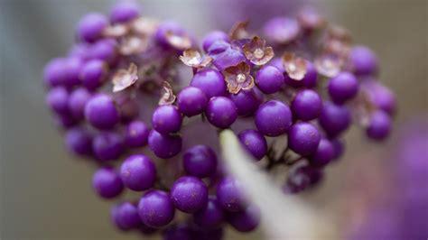 b berry purple liebesperlenstrauch im garten pflanzen auff 228 lliger