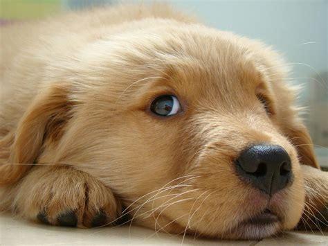 puppy eye puppy