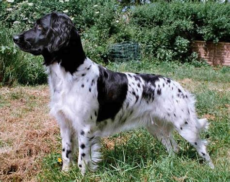 small munsterlander puppies for sale large munsterlander puppies breeders munsterlanders