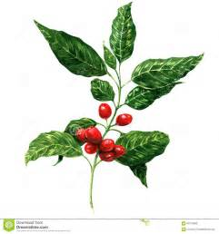 Red Coffee Beans On Branch, Isolated, White Stock Illustration   Image: 60119962