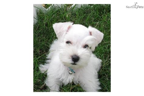 white miniature schnauzer puppies for sale miniature schnauzer puppies for sale in and breeders miniature breeds picture