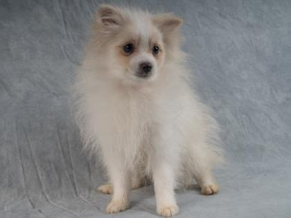 pomeranian rescue colorado 1000 ideas about pomeranian puppy on pomeranians pomeranian dogs and