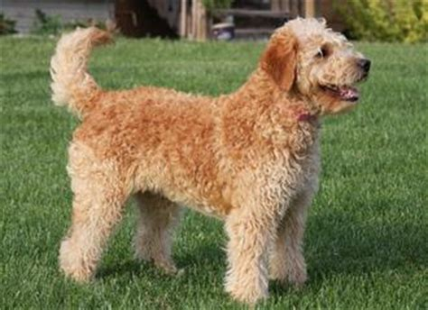 mini goldendoodle information miniature goldendoodles facts goldendoodle info