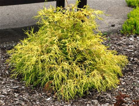 evergreen shrub with yellow flowers lemon thread falsecypress for yellow evergreen plants