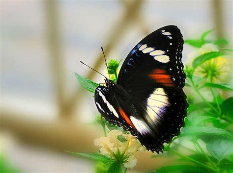 kupu kupu corak hitam putih flickr photo sharing