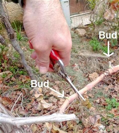 when to cut back a grapevine how to prune grape vines
