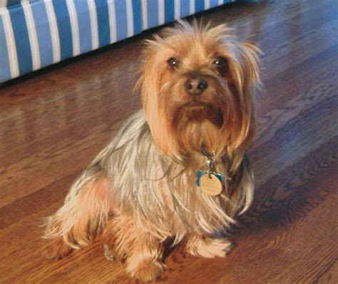 silky puppies silky terrier information pictures reviews and q a greatdogsite
