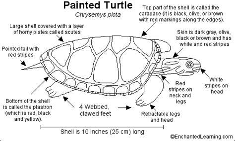 Turtle Neck Basic White M9140 painted turtle printout enchantedlearning