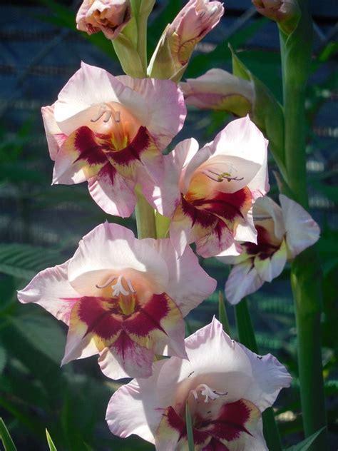 imagenes de flores gladiolas birth month flowers webnuggetz com