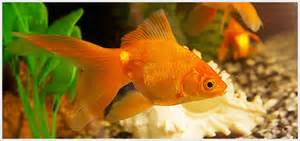 Different types of goldfish, their description and picture